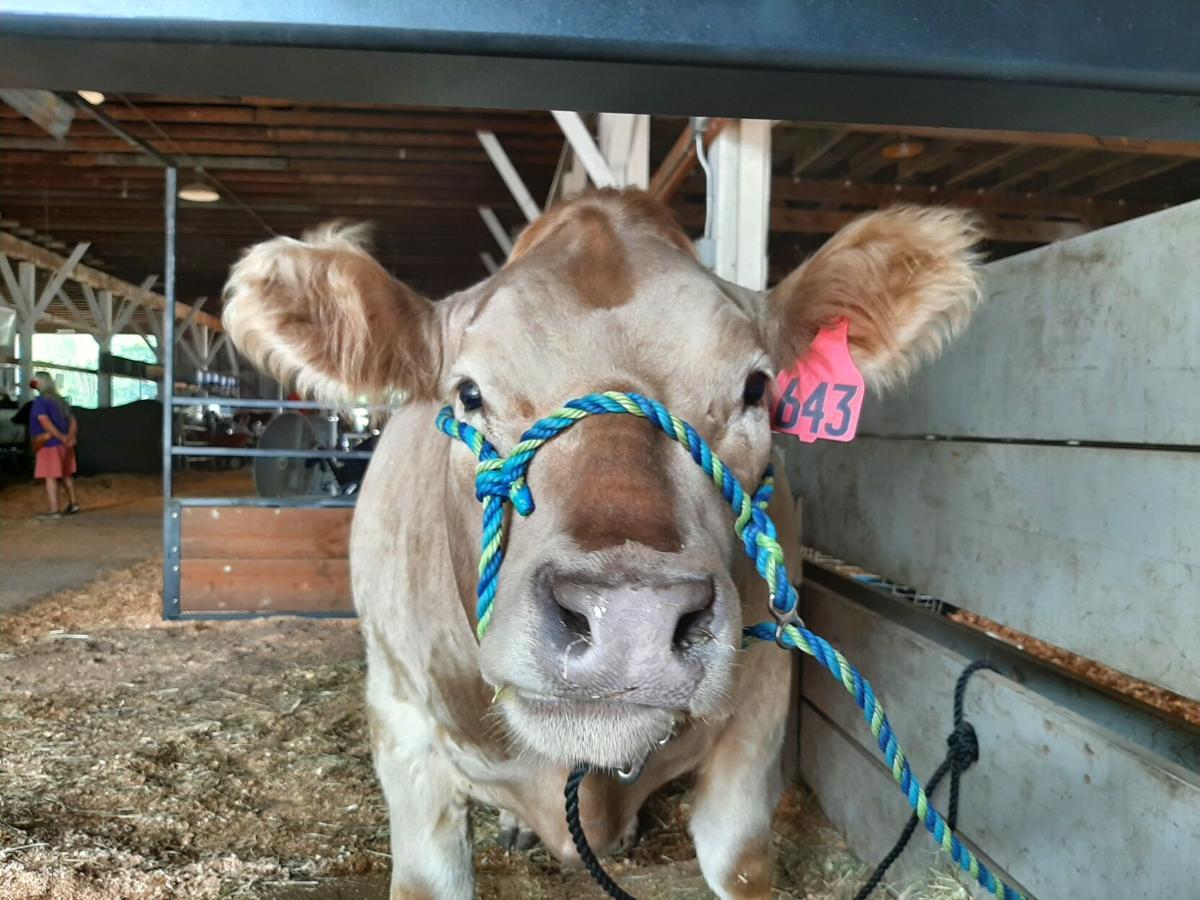A1 Fair cow.jpg