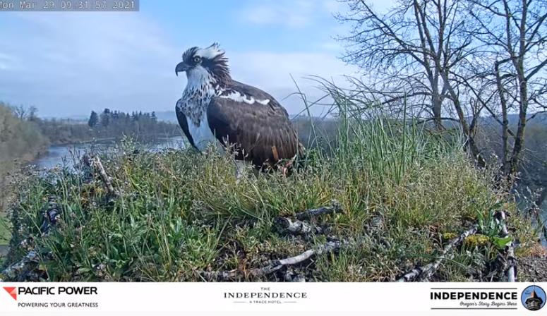A1 Osprey Nest3.png