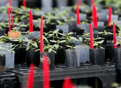 Planting of ArborGen's 10 billionth seedling an encouraging symbol