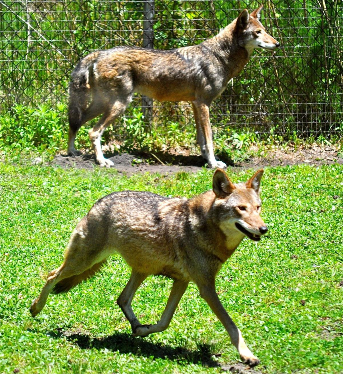 Fate of wild red wolves still in limbo