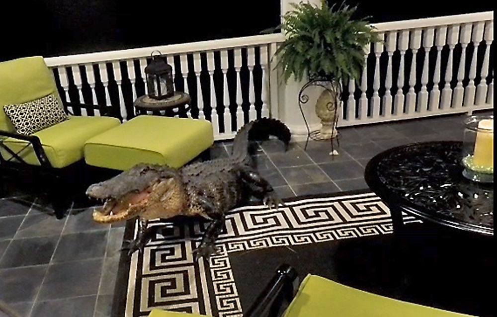 Alligator climbs to a second story Mount Pleasant