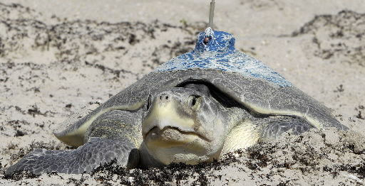 Nesting turtles give clues on oil spill's impact