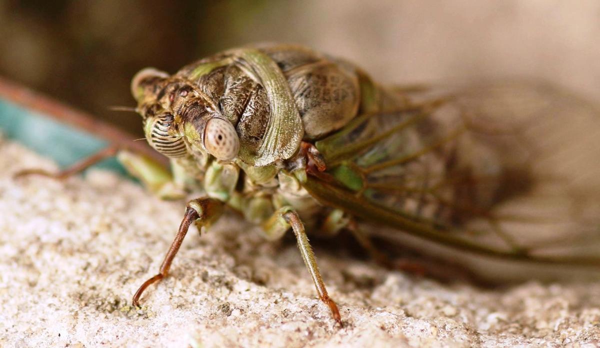 Backyard Frank Baker cicada.jpg