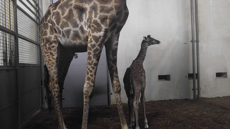 Baby giraffe born at Greenville Zoo