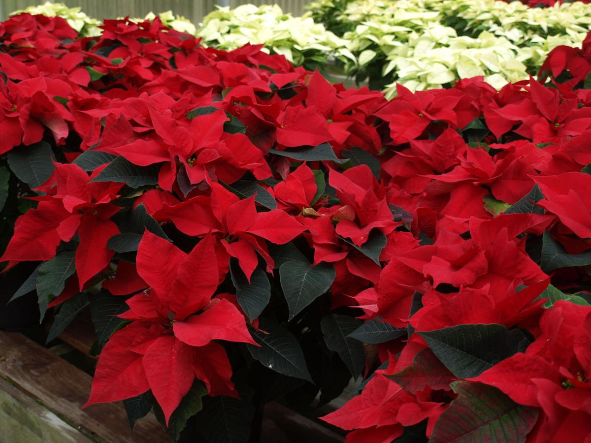 How To Choose And Care For A Poinsettia Columnists