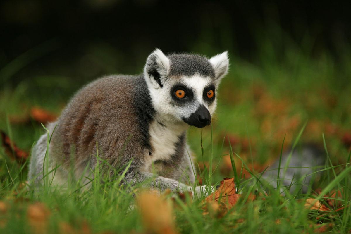 Lemurs star in aquarium's next big exhibit