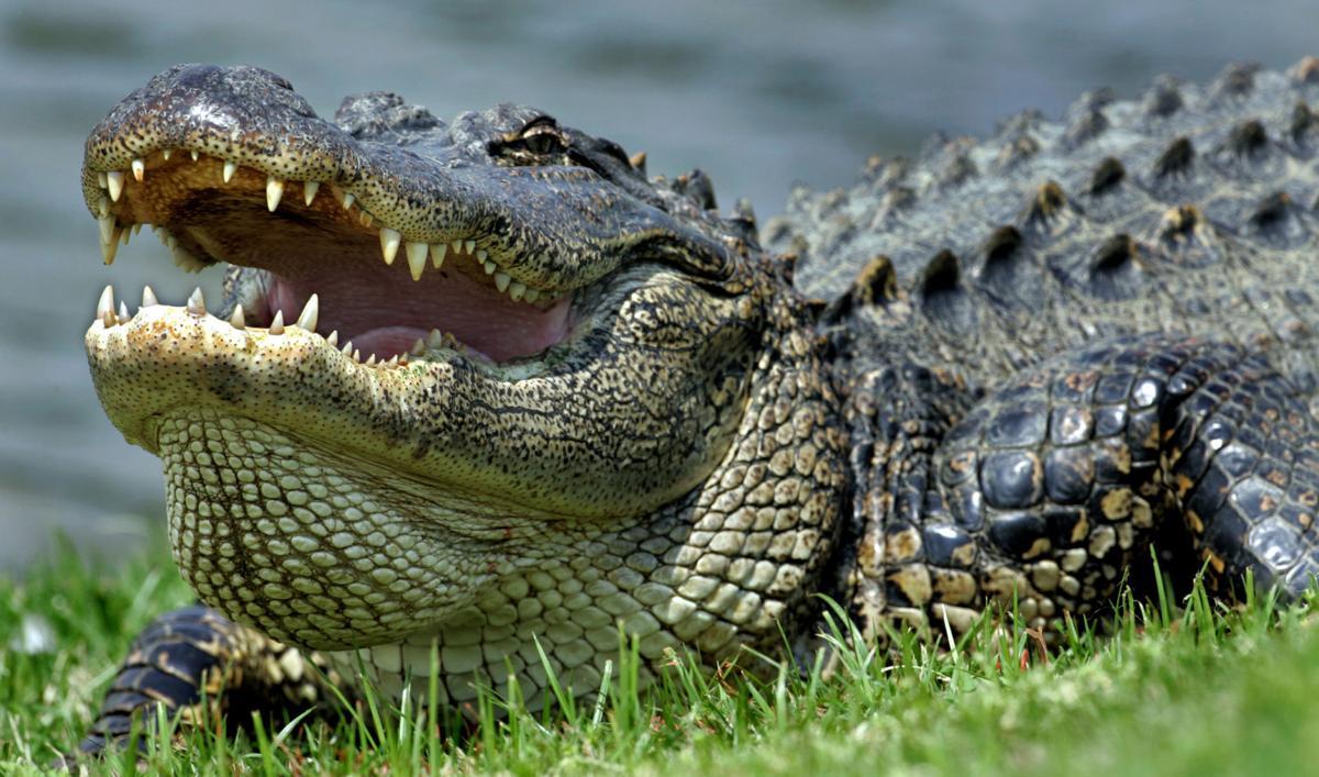 Alligator close-up