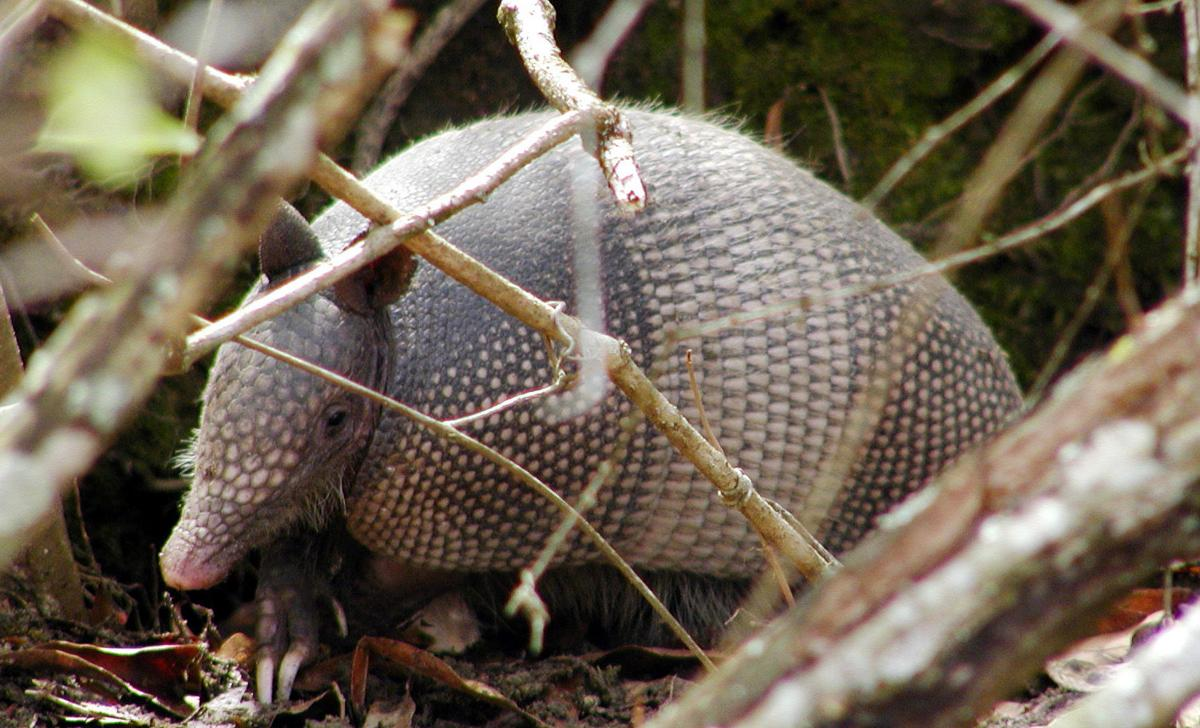 Armadillos make themselves at home
