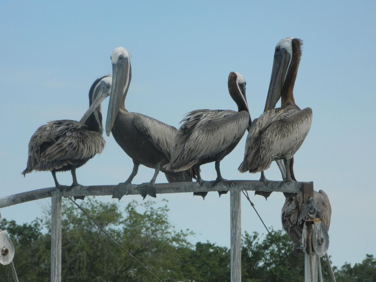 A Wonderful Bird Is The Pelican History Postandcourier Com