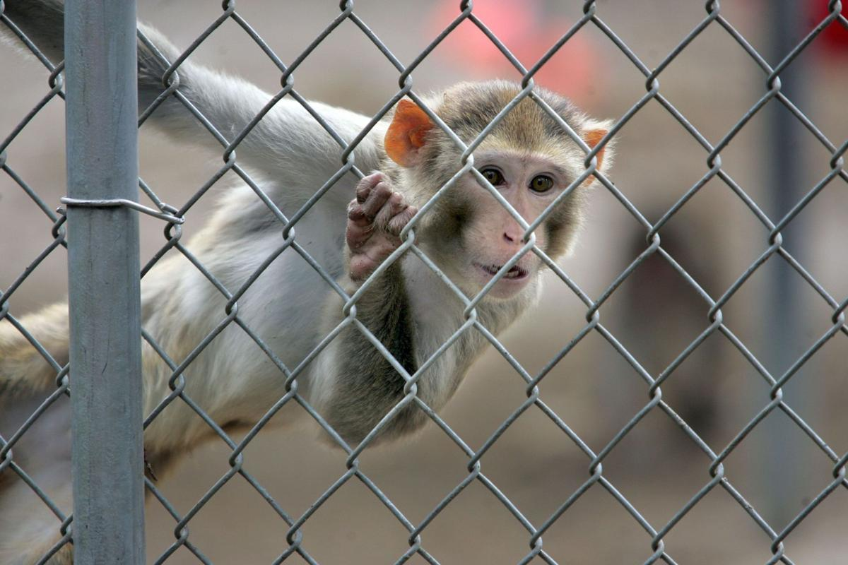 19 lab monkeys escape Yemassee facility, all recaptured (copy)