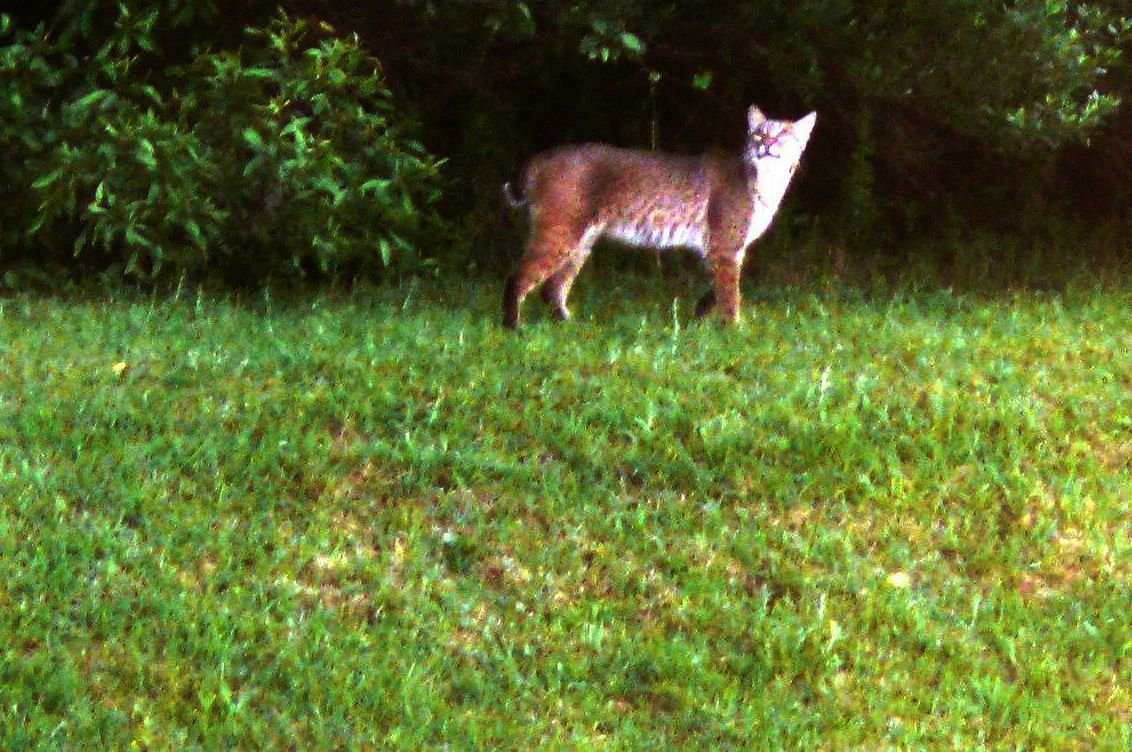 Bobcat encounter shows homeowner suburbia is where the wild things are