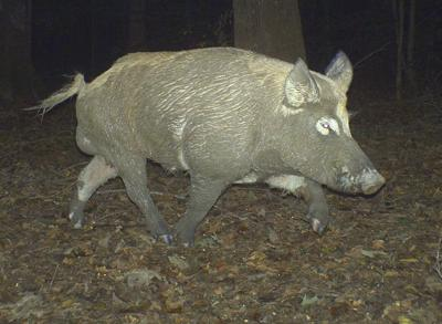 Wild hogs can be dilemma for South Carolina deer hunters (copy) (copy)