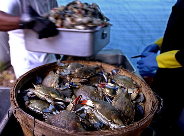 Blue crab moving farther upstream as water becomes saltier, more polluted