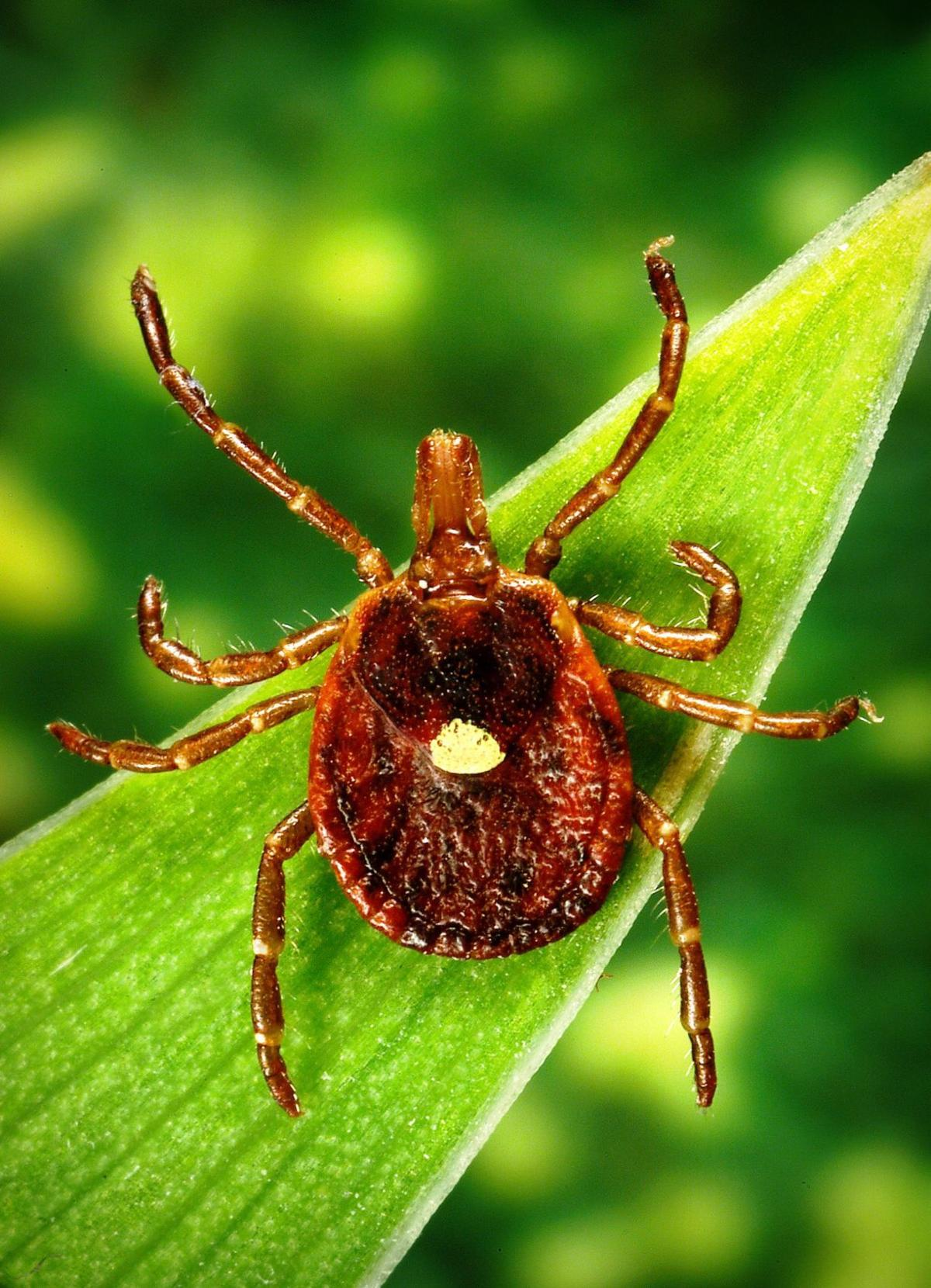 Meat allergy triggered by a tick bite