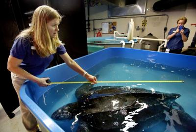 Hefty patient putting turtle hospital to test