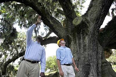 Middleton Oak's massive broken limb might provide key to tree's true age