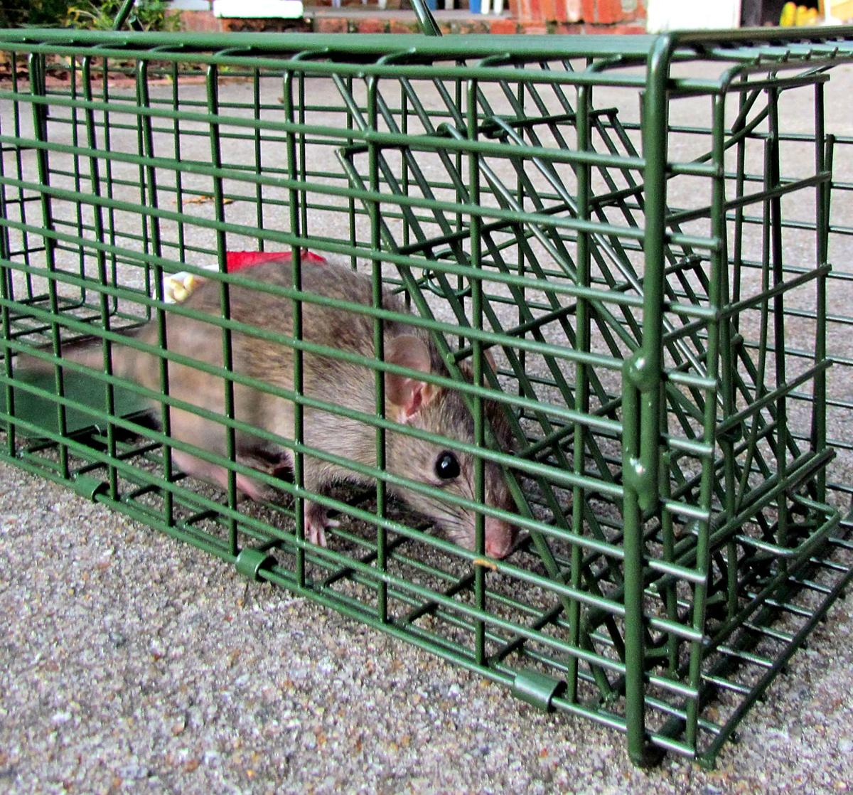 The cold of winter in Charleston brings unwelcome rodent