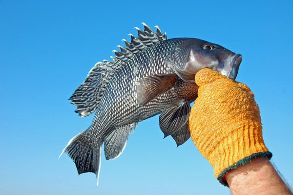 Black sea bass might face restrictions again