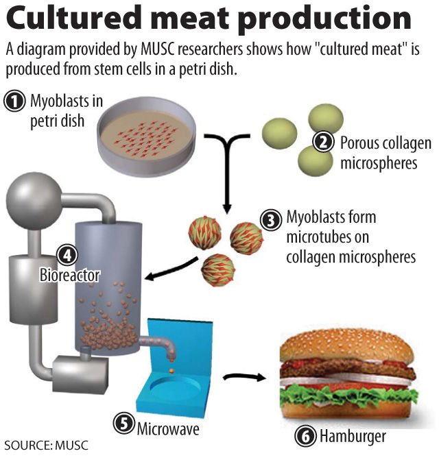 MUSC growing meat in lab
