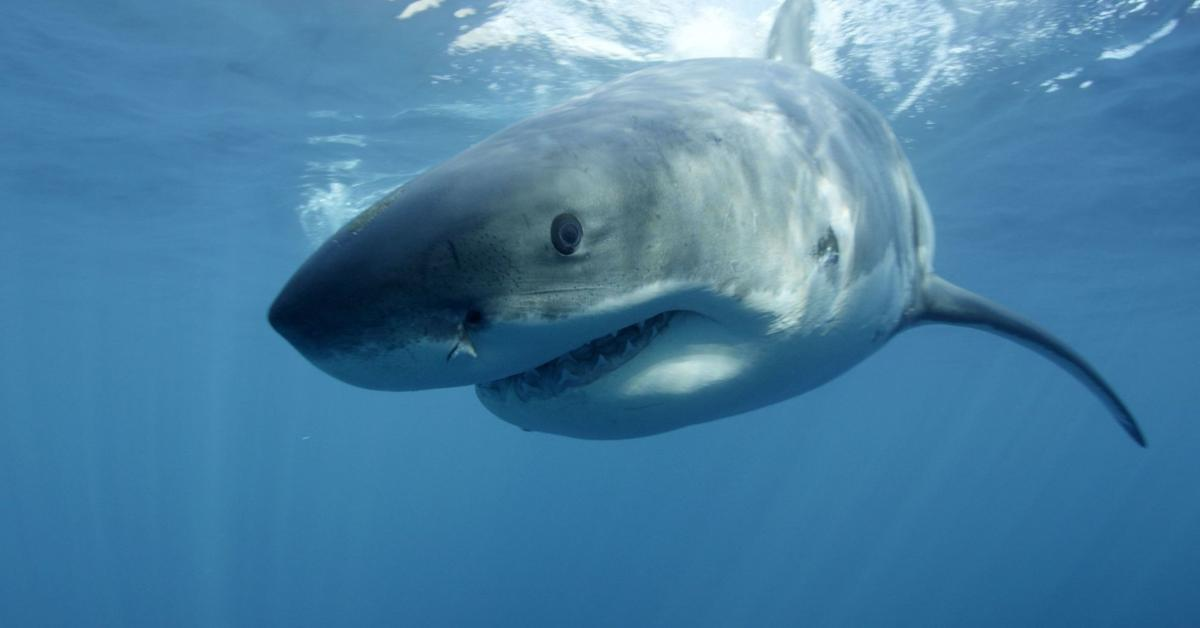SHARK (copy) (copy)