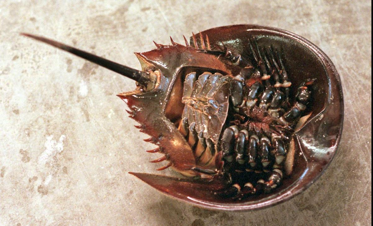 Vital horseshoe crabs come out in Lowcountry by the light ...