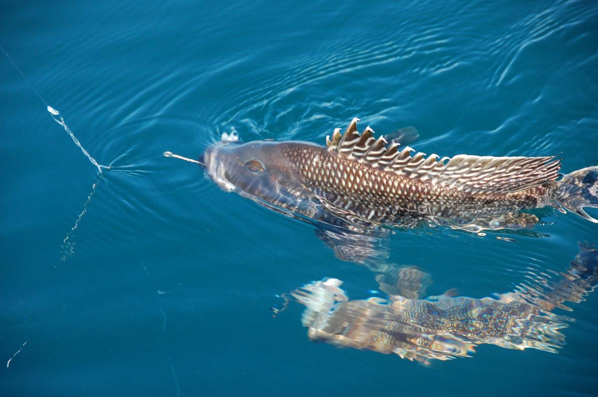 Black sea bass season looking up