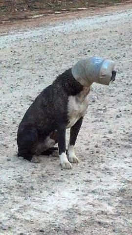 Dog with pipe stuck on head still running loose in Upstate Dog with head stuck in pipe needs help quickly