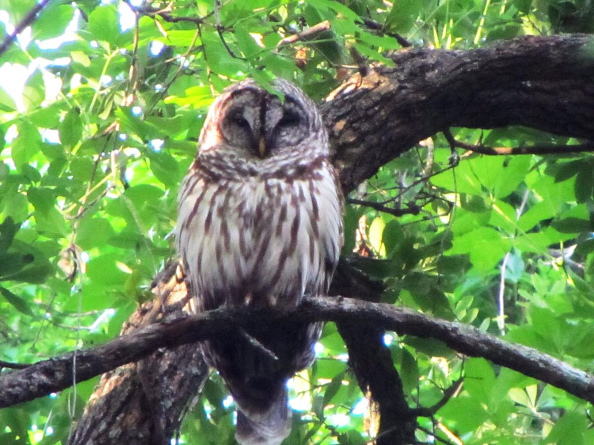 Who's that staring back at you? It's owl nesting season