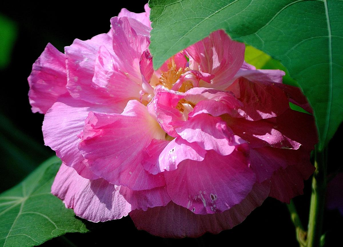 Hardy Confederate rose is heirloom for the ages