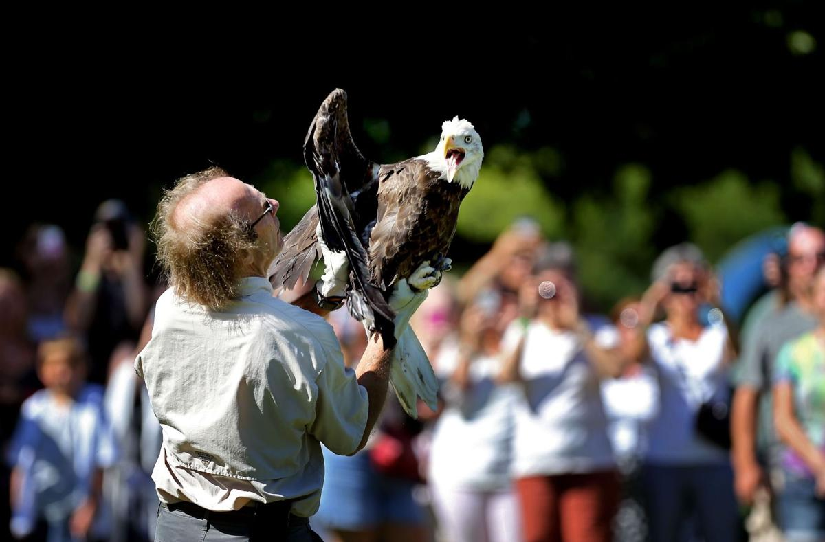 Freeing the eagle; injured bird treated, released after car collision