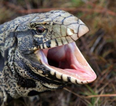 First sighting of black and white tegu lizard confirmed (copy)