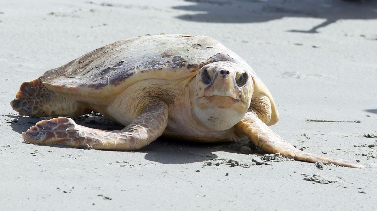 Sea Turtle Release (copy) (copy) (copy)