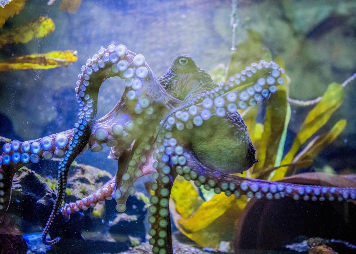 Inky the octopus legs it from New Zealand aquarium