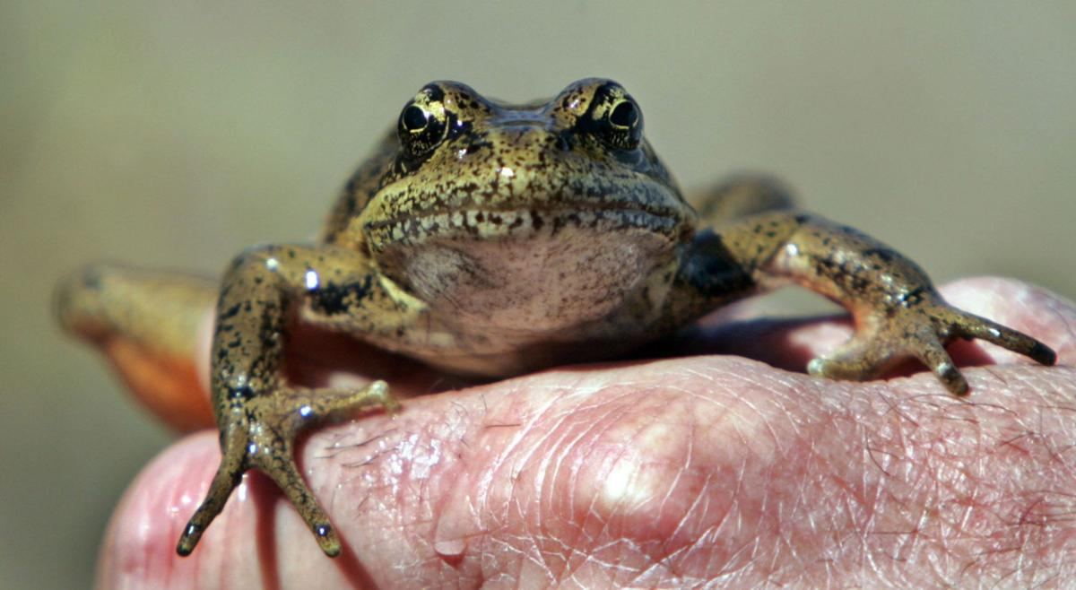 Study says frogs, other amphibians, disappearing at alarming rate