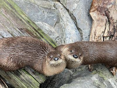 S.C. Aquarium otters