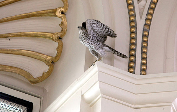 Hawk's reign ends in the reading room of the Library of Congress