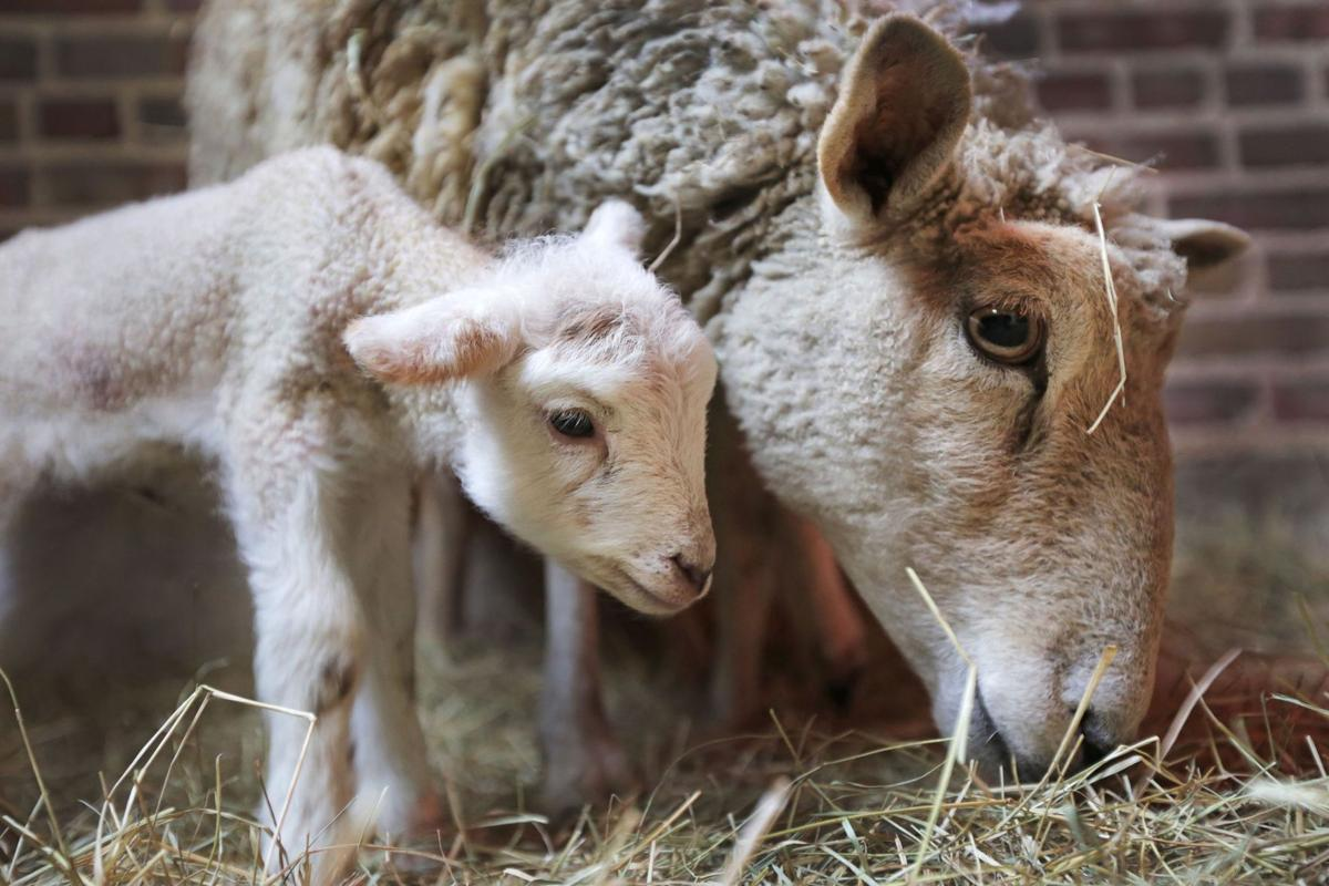 Say 'baaa' to winter: Middleton place welcomes 3 little lambs early