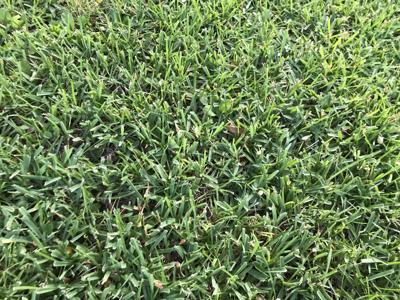 Healthy St. Augustine Grass.JPG
