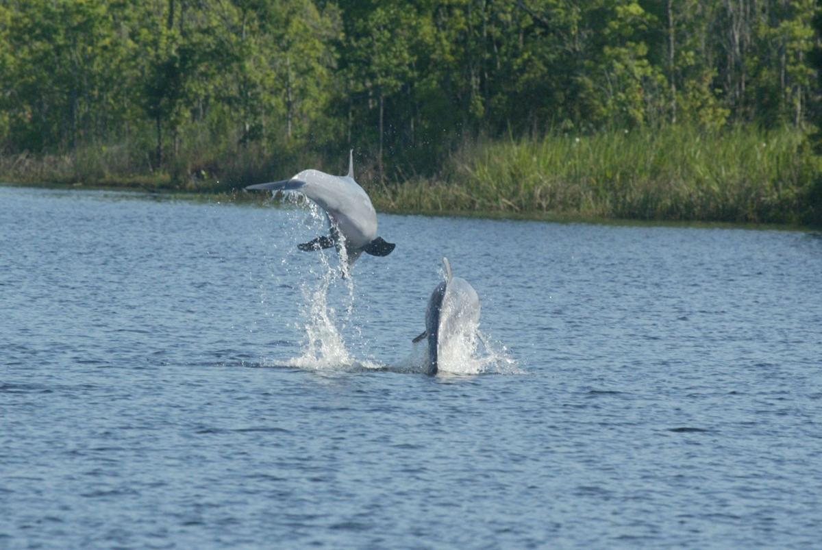 Wayward dolphins die in river