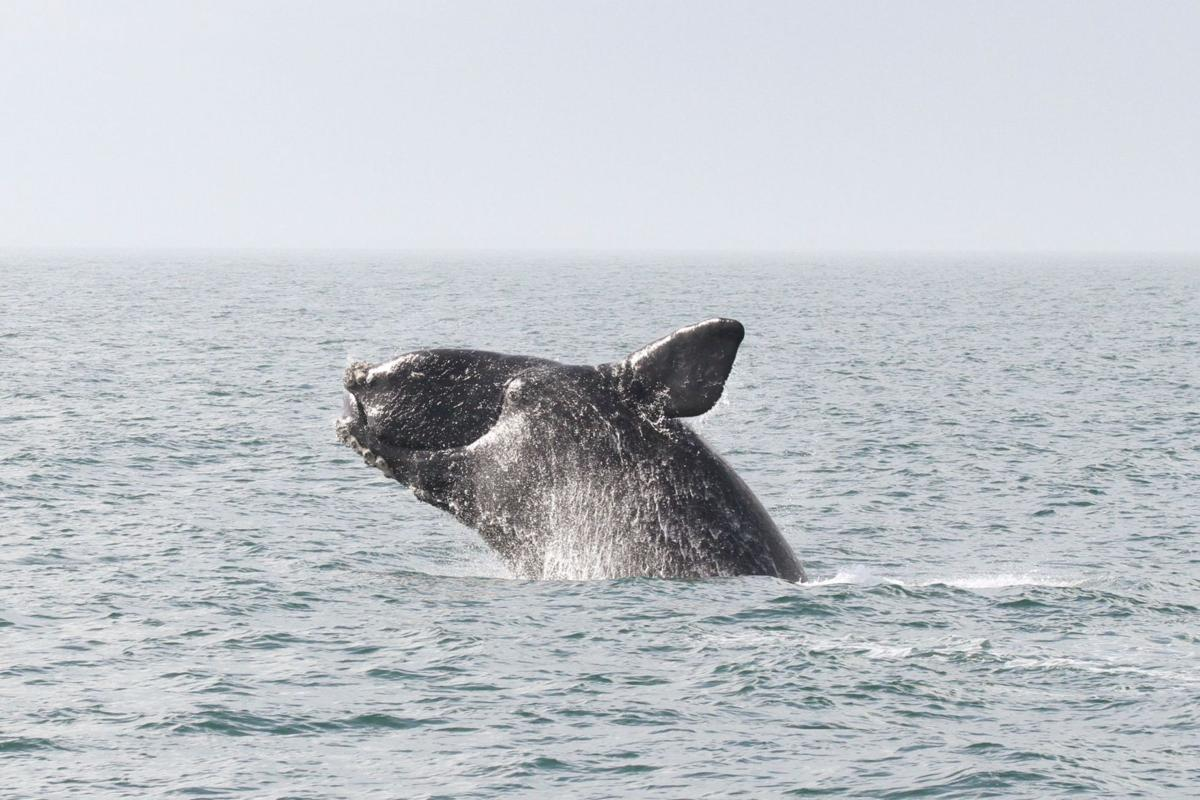 A whale of a fight is brewing over Atlantic coastal drilling
