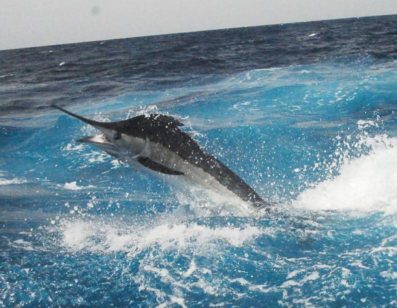 The Billfish Boom Passion for fishing led to first blue marlin