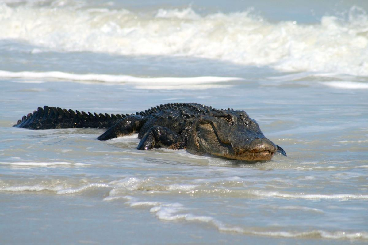 Alligator shot in Folly Beach surf