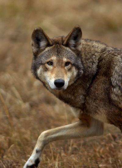 Save the red wolf, a half-million people tell feds (copy) (copy)