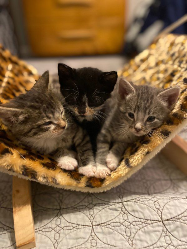 kittens available for adoption with FCH.jpg