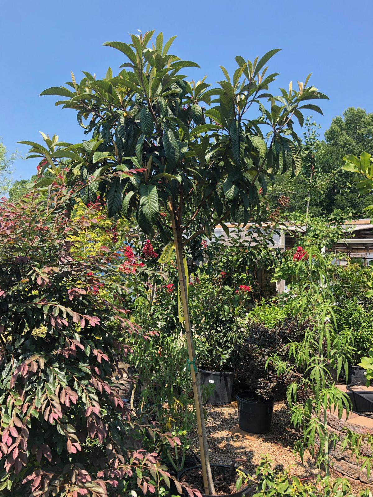 Gardening Loquat trees