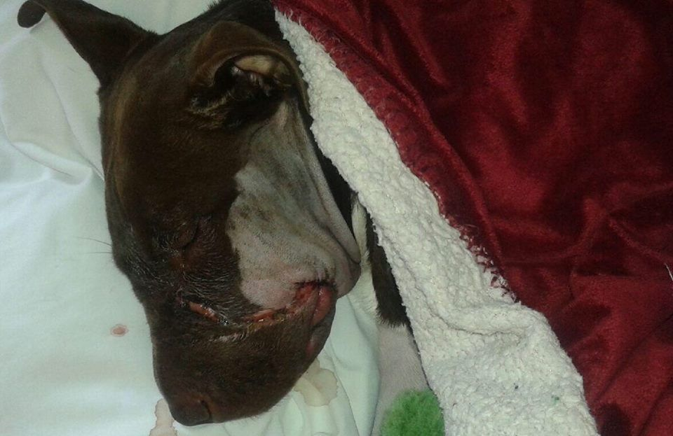 Abused dog Caitlyn out of surgery