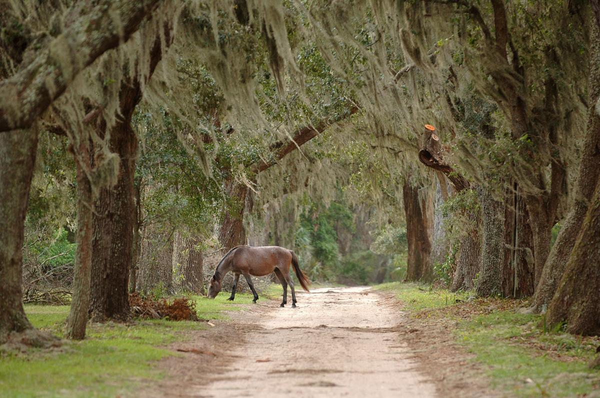 Wild horses from St. Helena Island corralled (copy)