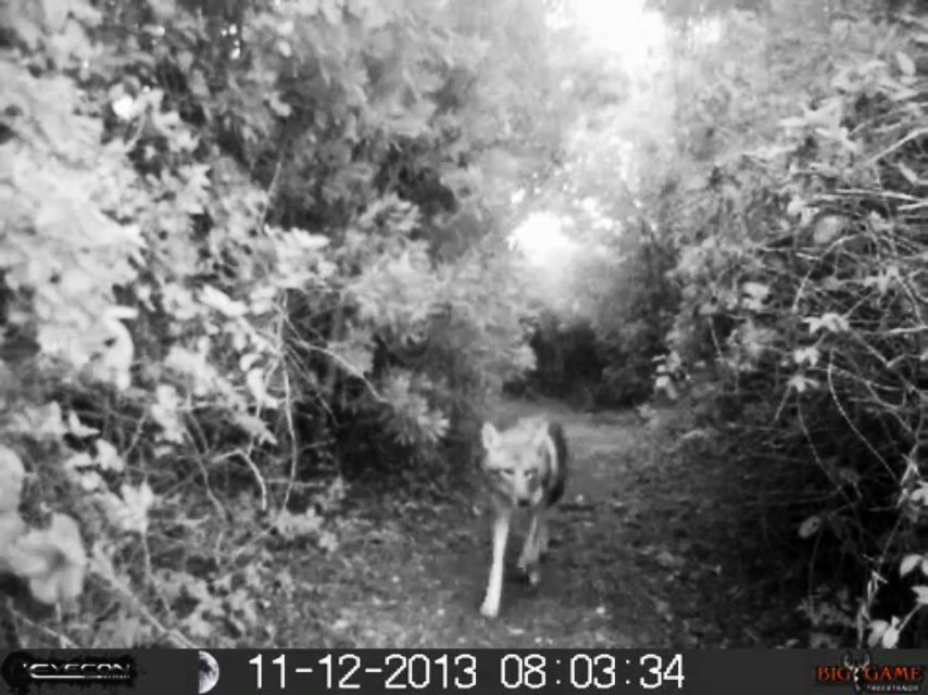 Radio collar reveals movements of Kiawah Island coyote