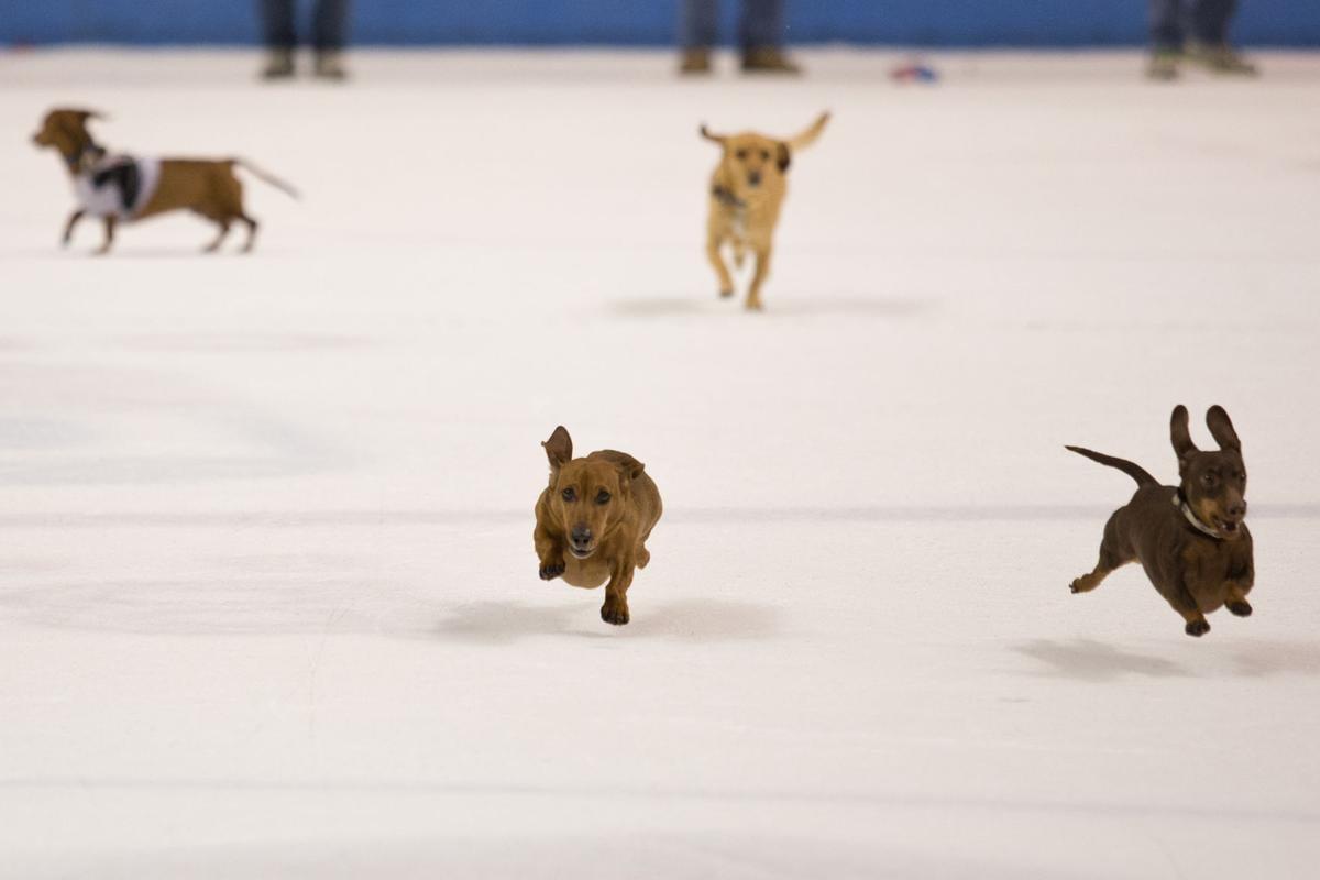 Stingrays wiener dog race wide shot