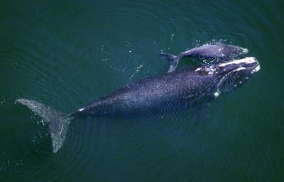 right whales calving (copy) (copy) (copy)